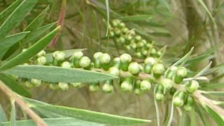 Common Bottle brush bush - Callistemon lanceolatus  - Föskuburstarunni -  Fræhulstur