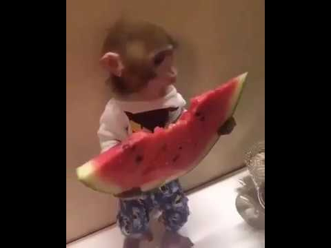 Cutest monkey pet ever youtube cutest monkey pet ever voltagebd Image collections