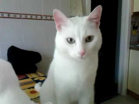 Famoso gatti bianchi - YouTube WP43