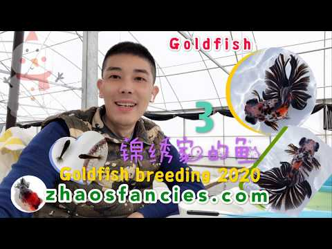 Goldfish:  Want To Learn From A Professional Breeder How To Select For Telescope Butterfly?  锦绣家的鱼