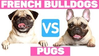 Pugs VS  French Bulldogs  Funniest Moments
