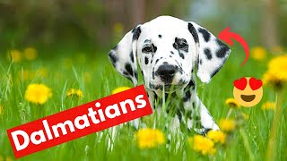 Dalmatian Dog Breed Facts and Personality   Should you get this Dog Breed?