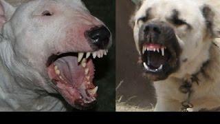Bullterier vs  Kangal