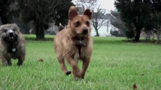 Cairn Terrier And Jack Russell X Play In Slow Motion (baxter & Scotty)