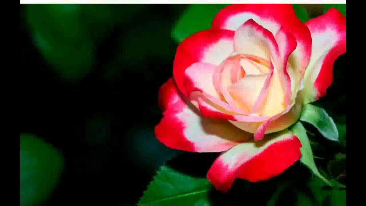 Flower Wallpaper images - YouTube