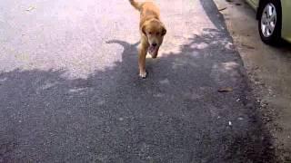 Golden Retriever Puppy For Adoption - 6 Months, Bob Marley..