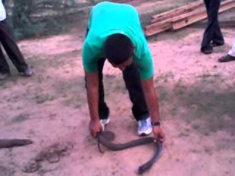 cobra swallow monitor lizard