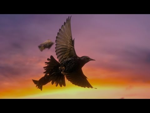 How do starling birds flock? - Life in the Air: Episode 3 Preview - BBC One