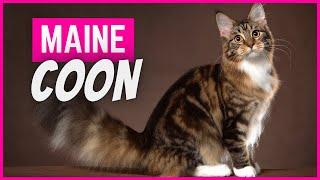Gato Maine Coon | Características, Personalidad y Cuidados