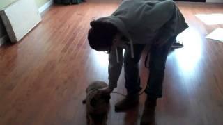 Dog Training Staten Island Puggle