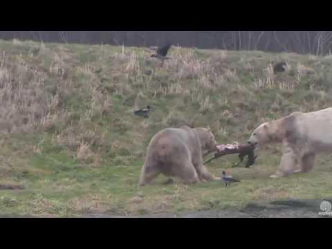 Tug of war! Siku Polar Bear cam. 30 December 2016