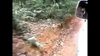 Surinaamse tijgers