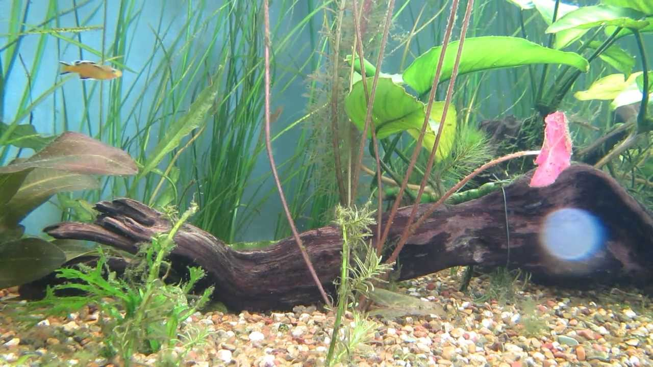Australian Native Fish - Honey Blue Eyes fighting ...