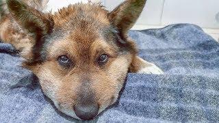 Собака вышла из леса к людям за помощью Нужно помочь спасти пес Одиссей