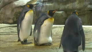 Berlin Zoo gives gay penguins egg after they fail to hatch stone | AFP