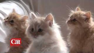 The Siberian Cat Breed, from www.yourcat.co.uk