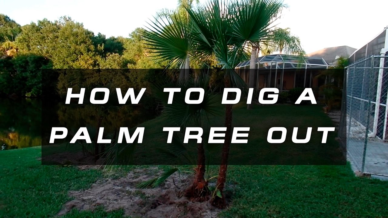How To Dig A Palm Tree Out Relocate And Replant
