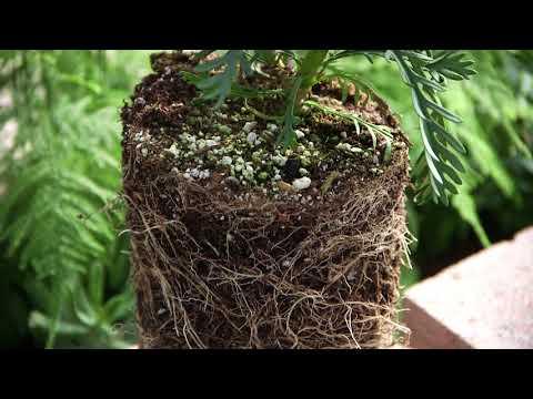 Star Nursery Dr Q Importance of Organic Mulch 18