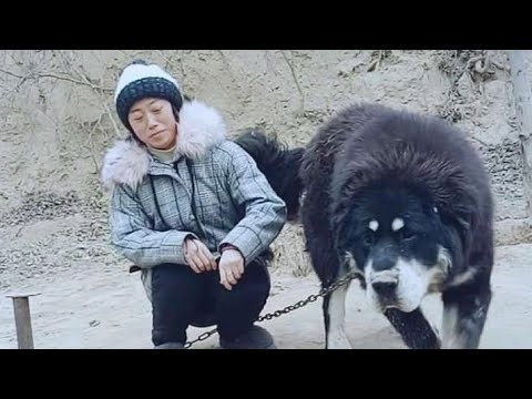 CHINESE TIBETAN MASTIFF-The worlds most expensive dog(Lion Head)