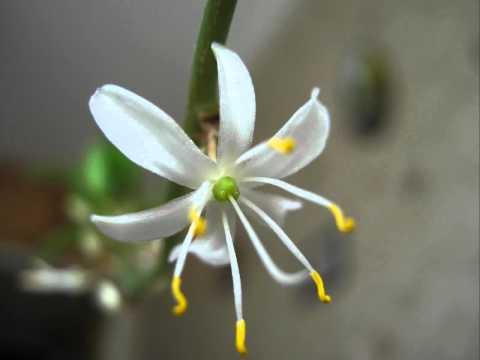 Цветение хлорофитума. 18.04.2011