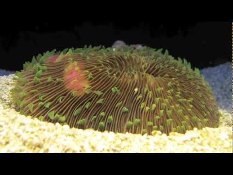 Coral excavating itself after becoming buried in sediment (time-lapse #1)