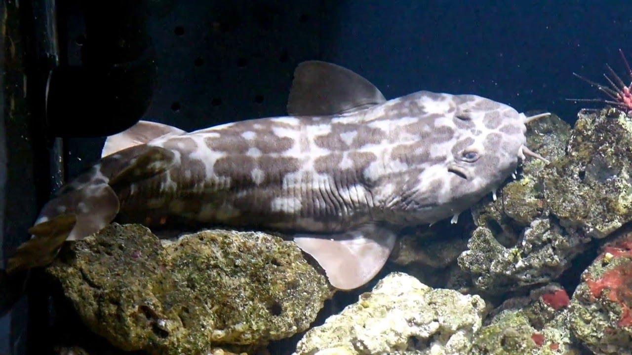The western wobbegong, a carpet shark - YouTube