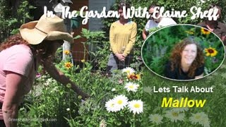 Green Path Herb School - Herbalist Elaine Sheff talks about Mallow ...