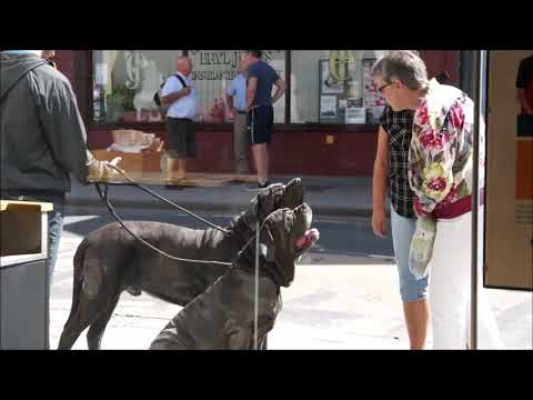 How many people stop to meet Neapolitan Mastiffs?
