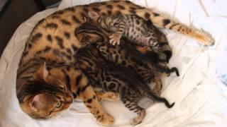 Бенгальские котята питомник. BENGALOCAT