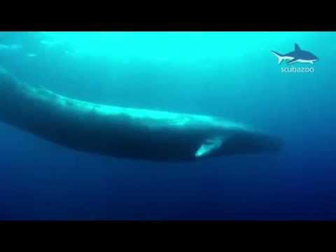 Amazing Blue Whale - the Biggest Whale in the World!