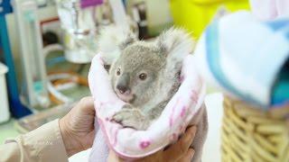 Rescued Baby Koala Loves Teddy