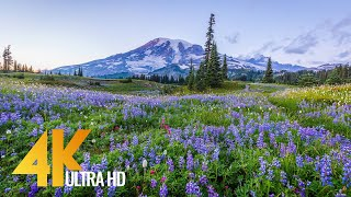 Mount Rainier Wildflowers 4K - Most Beautiful Landscapes with Birds and Crickets Chirping Sounds