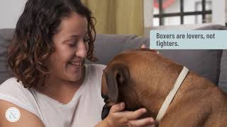 Boxer Dog Facts You Might Not Know | Mittens and Max