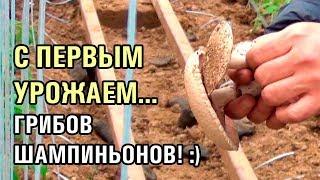 С ПЕРВЫМ УРОЖАЕМ ГРИБОВ ШАМПИНЬОНОВ 26 12 2018