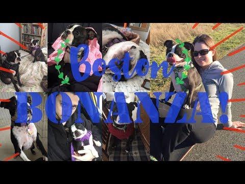 BOSTON BONANZA! - The Two Cutest Dogs in the World