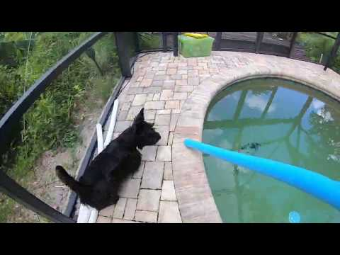 Scottish Terrier vs Pool Noodle