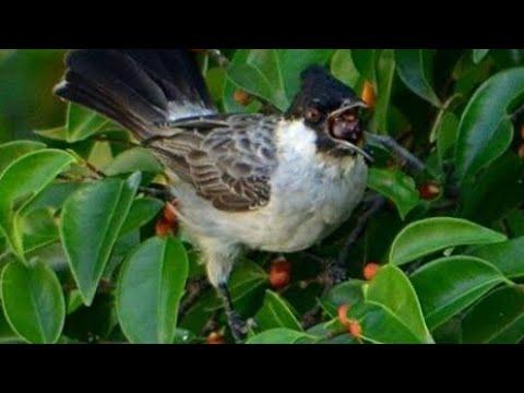 Mikat burung kutilang di semak belukar seruuu