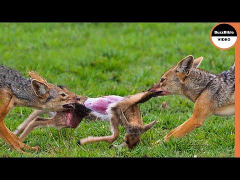 Jackals Fighting Baby