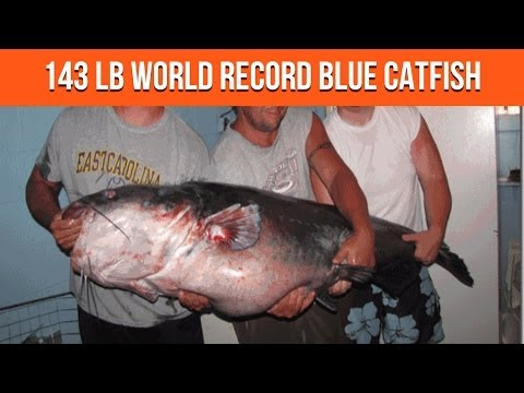 143 Lb Catfish New World Record Blue Catfish Caught At Buggs Island Lake in Virginia from YouTube · High Definition · Duration:  1 minutes 12 seconds  · 59,000+ views · uploaded on 6/20/2011 · uploaded by Catfish Edge
