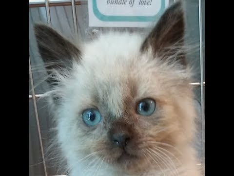 Thrall, an adoptable Male Seal Point Siamese kitten