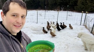 The Special Food I Feed Ducks in Winter