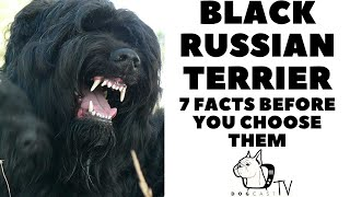 Before you buy a dog   BLACK RUSSIAN TERRIER  7 facts to consider! DogCastTV!