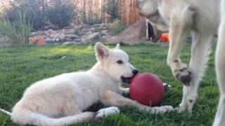 arctic white wolf puppy private home