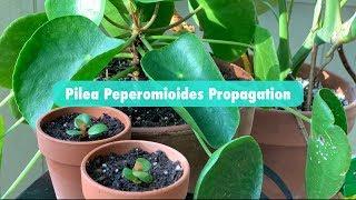 pilea peperomioides propagation