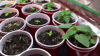 2017 Super Hot Peppers Growing Season - Ep. 02 - Feeding Time