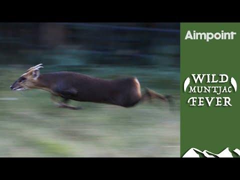 Wild Muntjac Fever #1