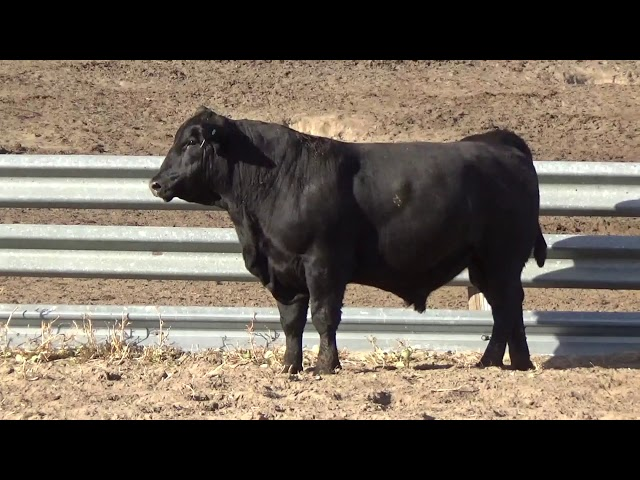Connealy Angus Lot 239