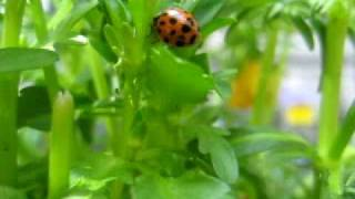 ladybug walking on a pansy leaf