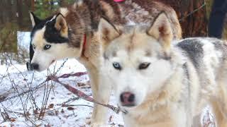Круть! Хаски-тур из Нижнего Новгорода   Husky Dog Talking   Travel