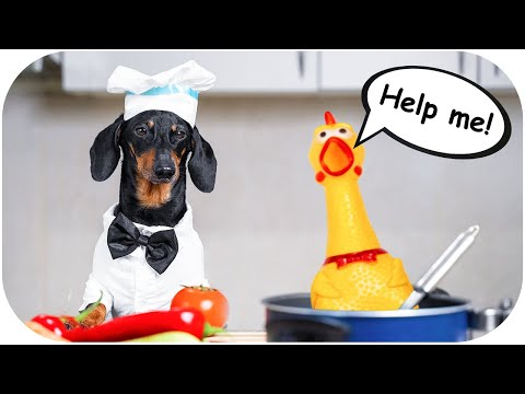 Vegan Day Challenge! Cute & funny dachshund dog video!